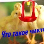 Что такое чиктоник? Инструкция по его применению для птиц, кроликов, индюшат