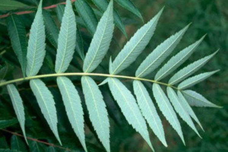 listya-sumaha
