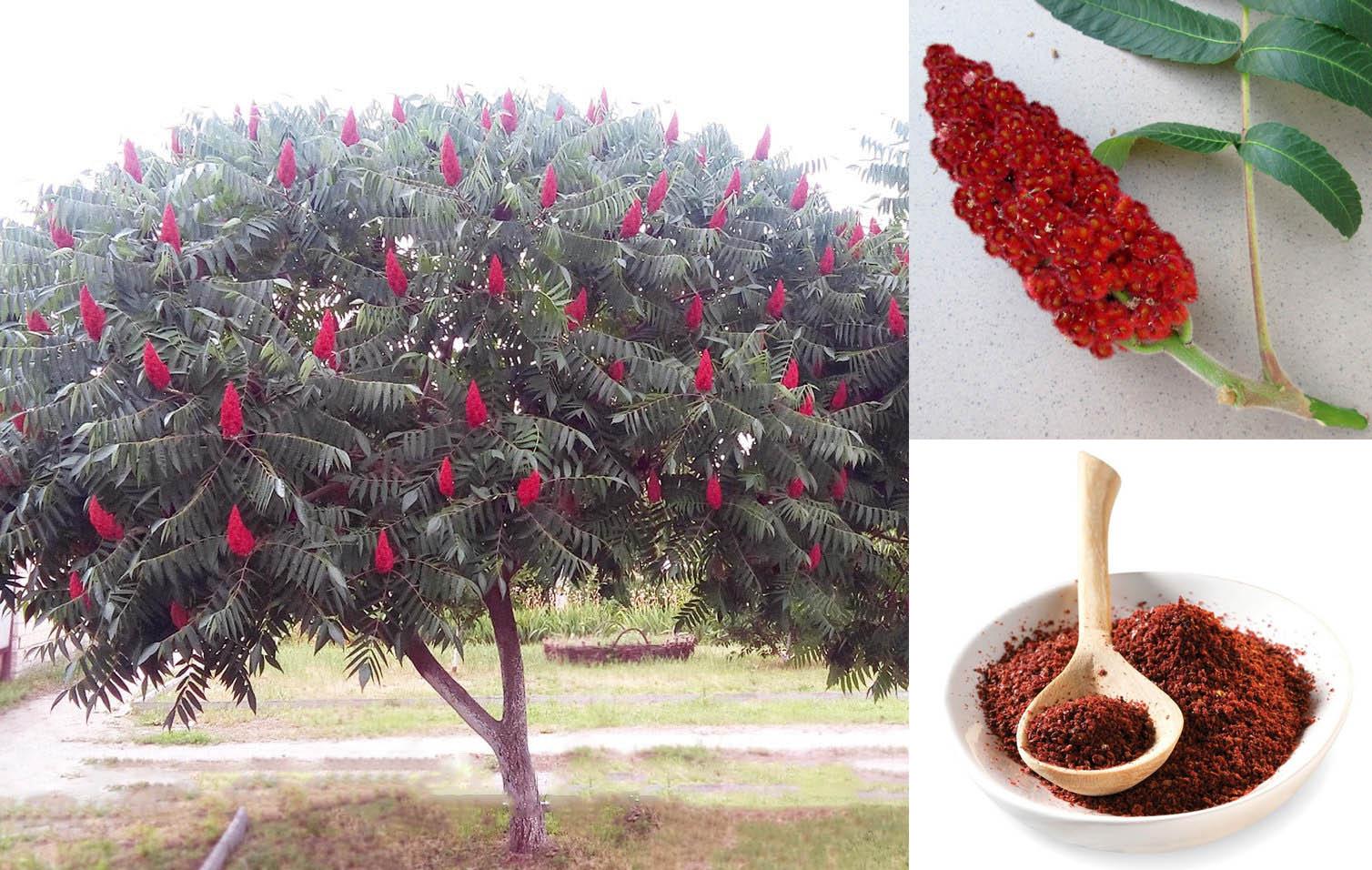 Уксусное дерево плоды