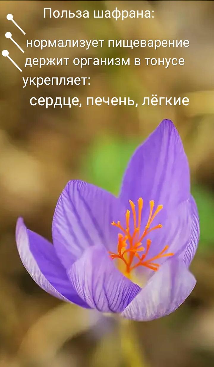 """""""польза шафрана"""""""