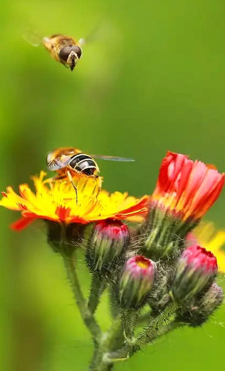 """""""медоносная пчела"""""""